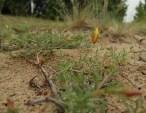 Homoki növénytársulások