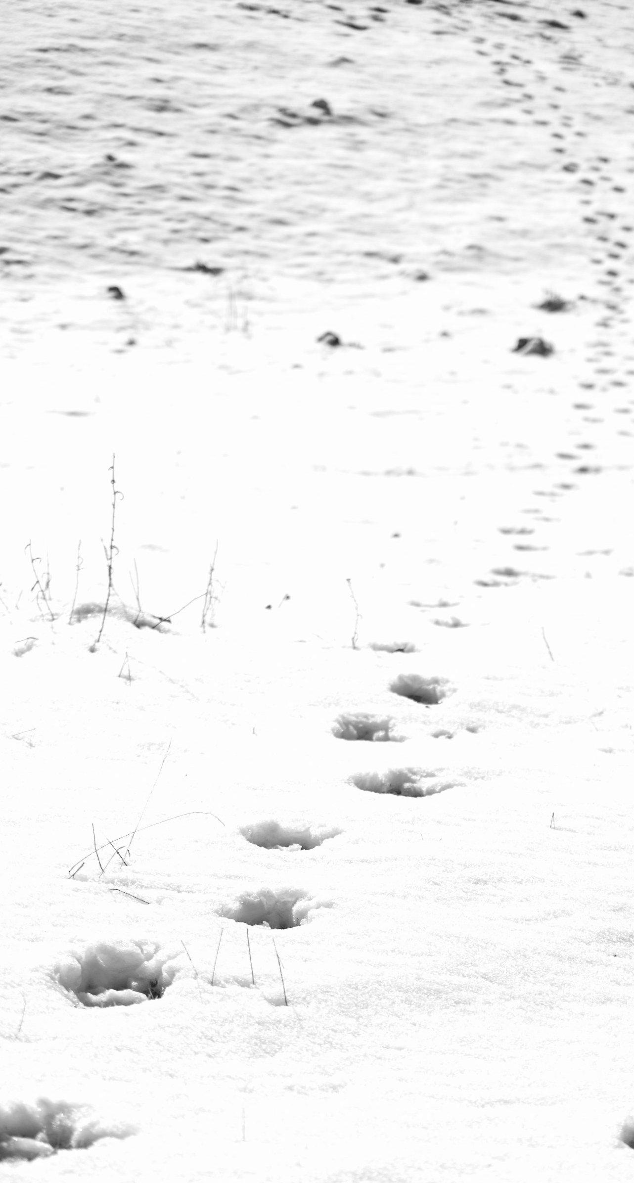 Una traccia lasciata da due lupi rinvenuta da poco nei Monti Reatini (autunno 2008)