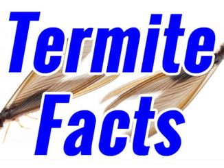 about termites