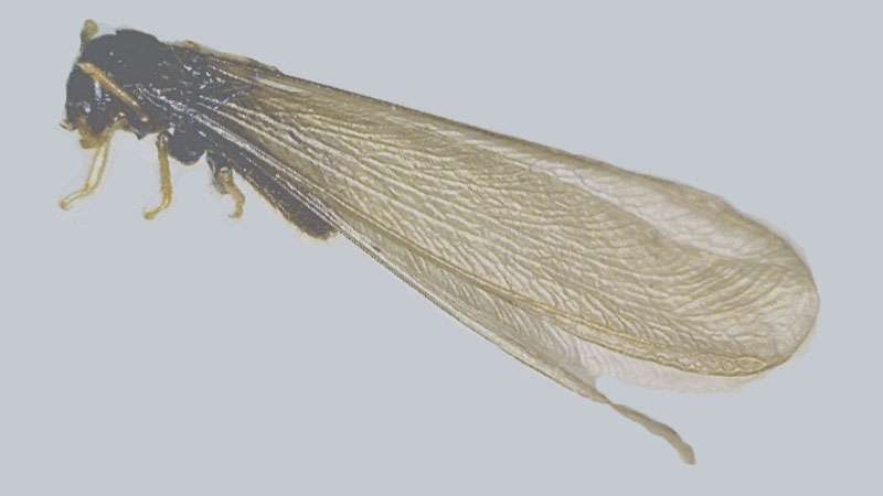 swarmer termites treatment