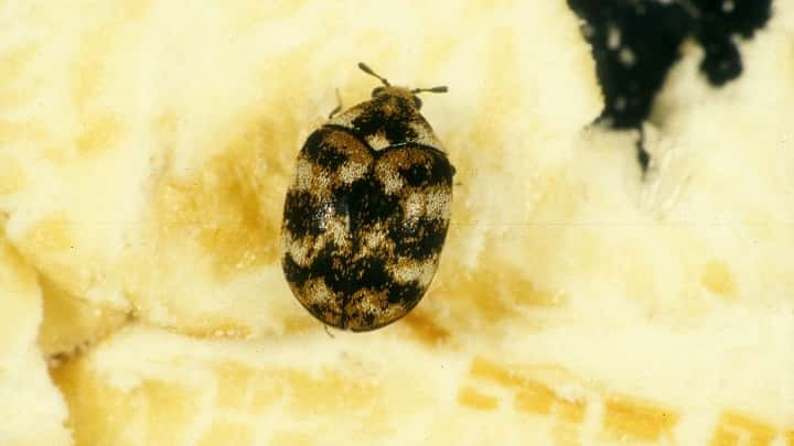 Carpet Beetles Archives Page 4 Of 4 Termites Blog