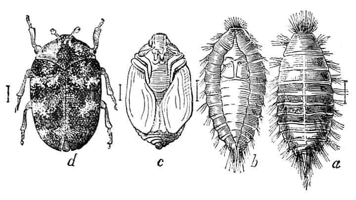 Does Diatomaceous Earth Kill Carpet Beetles Termites Blog