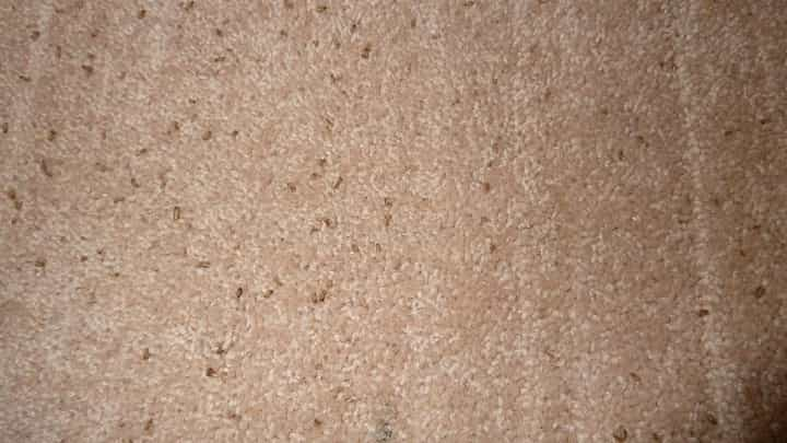 What Does Carpet Beetle Poop Look Like And How To Clean