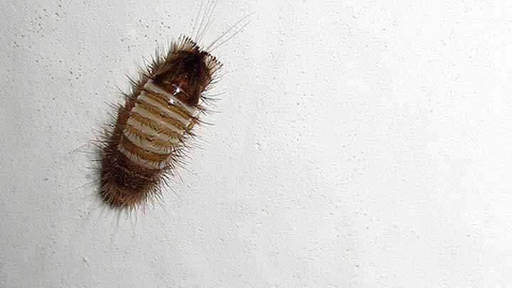 10 Easy Tips To Getting Rid Of Carpet Beetle Larvae In