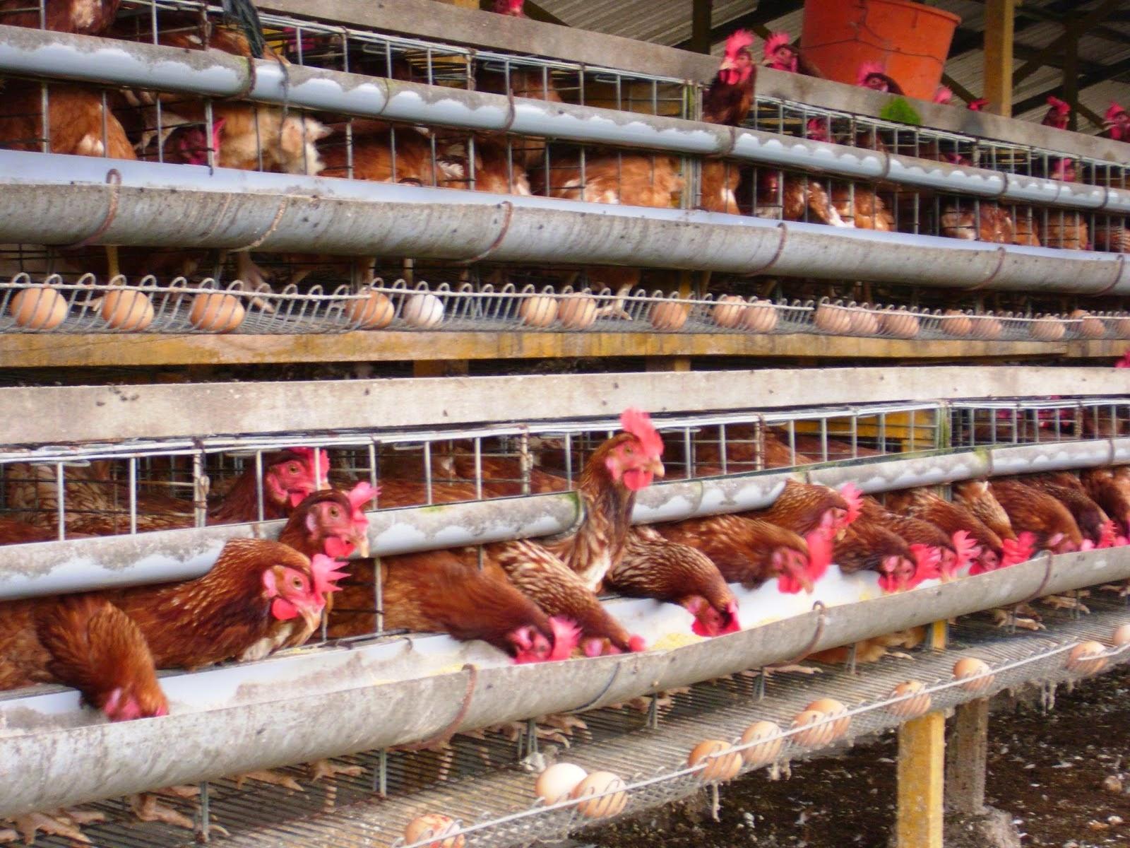 Bisnis Ternak Ayam Petelur