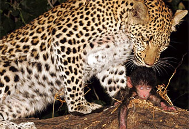 Bayi Babon di Selamatkan oleh Seekor Leopard