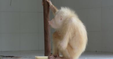 Kondisi Orang Utan Albino di Kalimantan Membaik