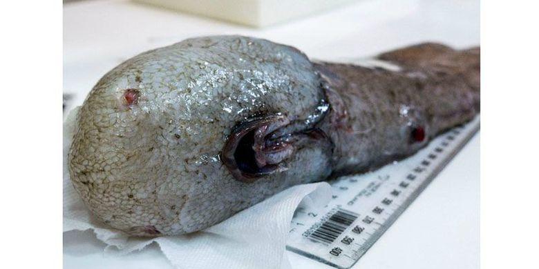 Ikan Tanpa Wajah Ditemukan Kembali Setelah Hilang 150 Tahun