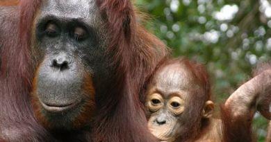 Merinding,Orangutan Menyusui Bayinya Selama 8 Tahun