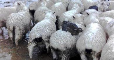 Aksi Lucu Tiga Ekor Kelinci Sedang Menunggangi Domba Demi Hindari Banjir
