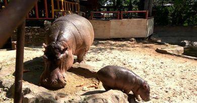 Lucu! Anak Kuda Nil Lahir di Kebun Binatang Lamongan