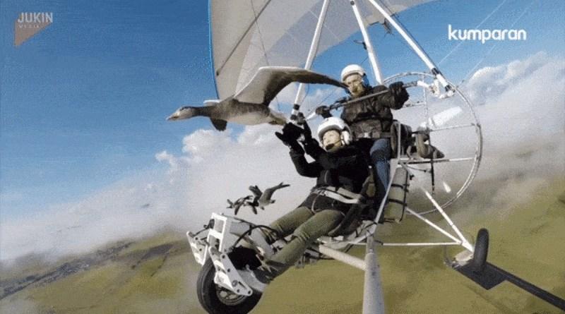 Video Sensasi Wisata Unik Terbang di Udara Bersama Angsa