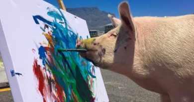 Si Babi Pigcasso yang Pandai Melukis Lihat Aksinya