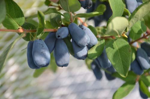Camerisier Zolushka
