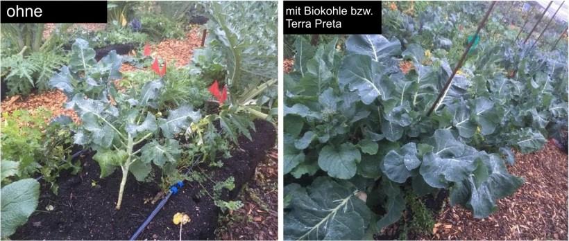 Vergleich Terra Preta und Biokohle bei Brokkoli