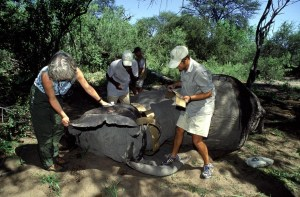 In northern Botswana in 2003, Bechert and a team of researchers applied tracking collars to elephants. Scientists observed that after landmines were removed in Angola, elephants resumed migration through areas they had avoided during the civil war. Understanding elephant movements and habitat use can help minimize human-elephant conflict. (Photo: David Rogers)