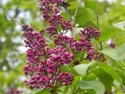 gemeiner Flieder / common lilac