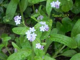 Vergissmeinnicht / small flowered forget-me-not