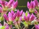 Azalee / rhododendron