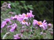Herbstaster / wild christanthemum