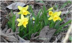 Miniosterglöckchen im Garten / Mini daffodil in our garden