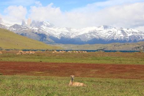 Laguna Azul e muitos guanacos em nossa companhia