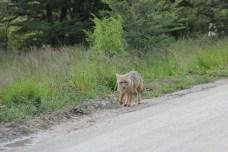 Encontramos no caminho do parque nacional uma raposa, típica da região