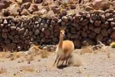 Linda Vicunha, camelídeo típico dos altiplanos