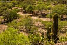 As ruínas praticamente somem em meio à vegetação de cactos e shinquis, a árvore típica da região