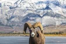 Cabra big horn, nos recepcionando no Jasper