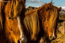 Na companhia inigualável dos belíssimos cavalos islandeses