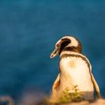 FineArt Pinguim-de-Magalhães