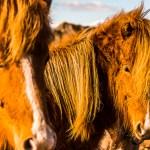 FineArt Cavalos Islandeses