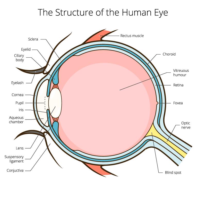 eye anatomy terrace eye