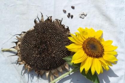 ciona-semi-fiori-gira