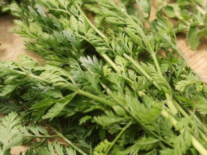 Foglie di carota selvatica
