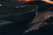 Pantropical spotted dolphins encircled in the nets