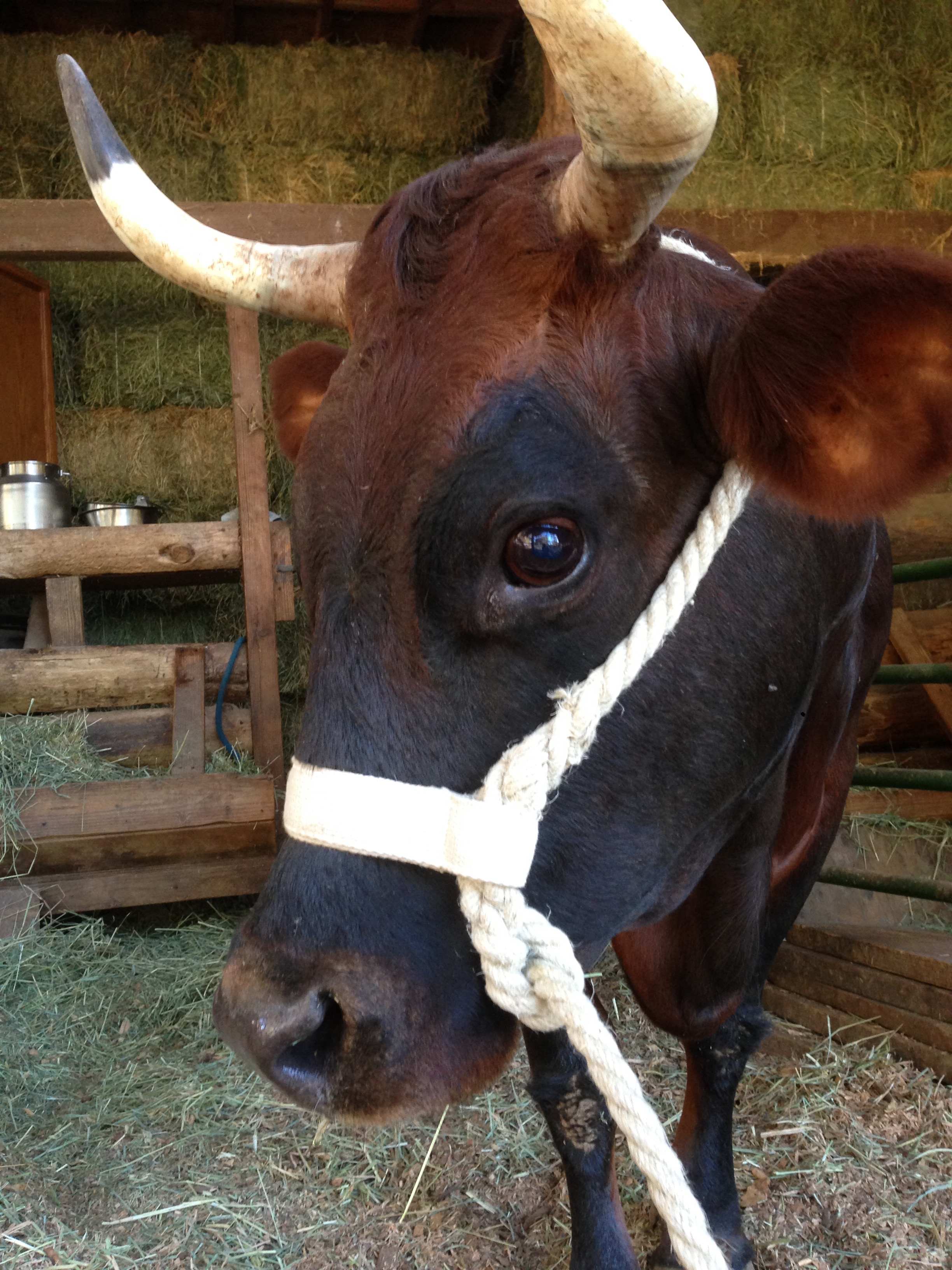 Cow Rope Halter  TerraMuse