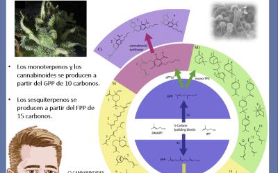Dr Nabis cannabinoides y terpenos