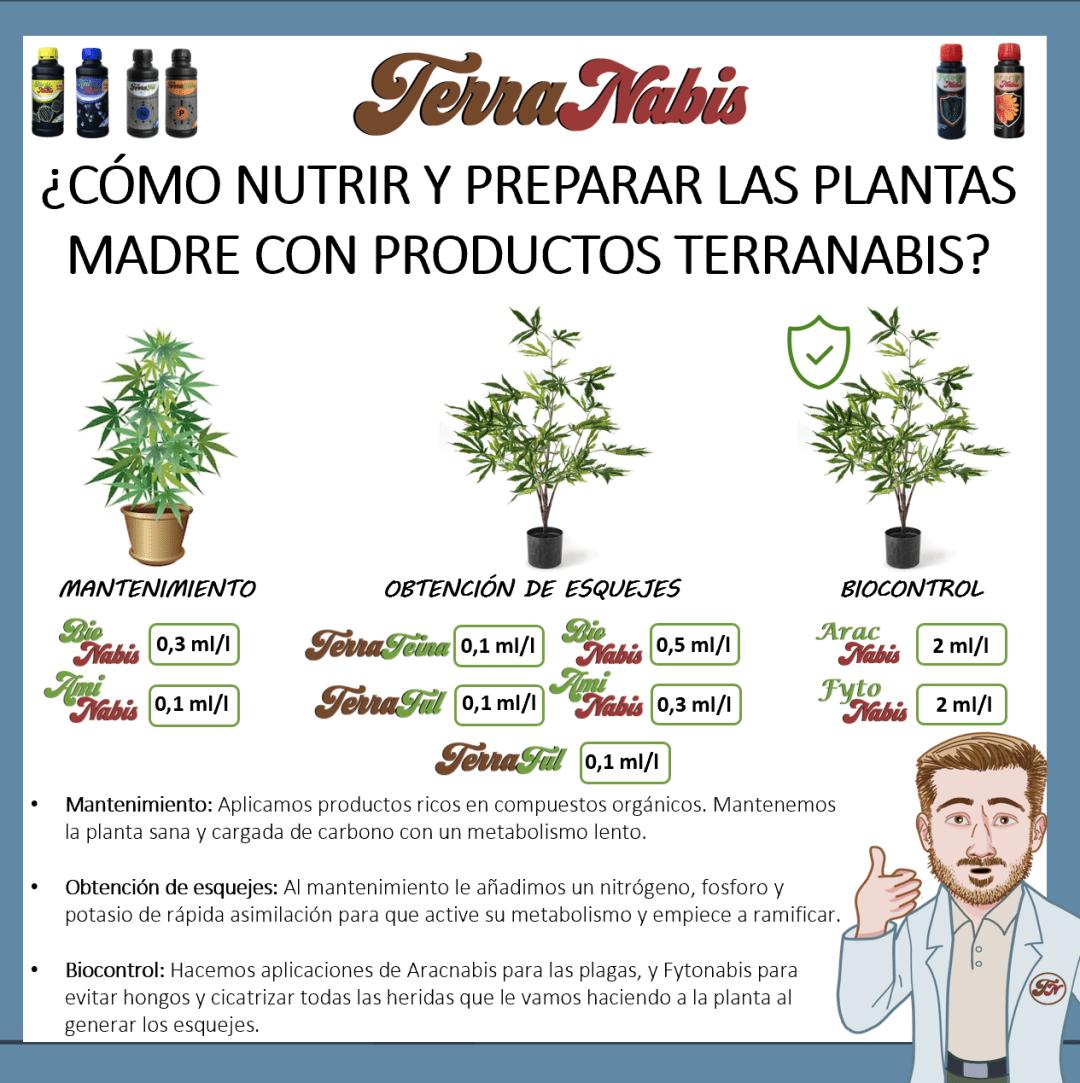 dr nabis plantas madre