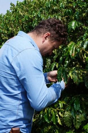 Francisco Guimarães analisando as plantas de Café.