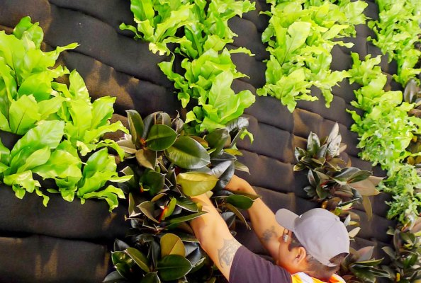 Fertilizando un muro verde