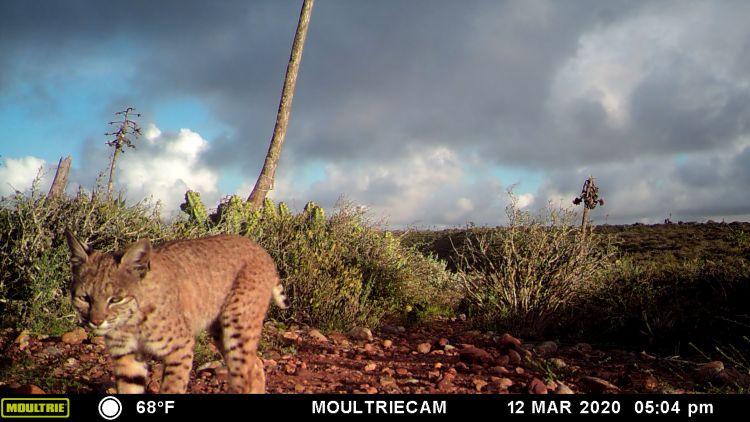Gato montés en la Reserva Natural Valle Tranquilo