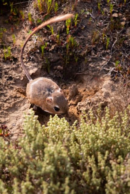 Rata canguro Valle Tranquilo