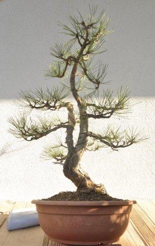Sami`s Blak Pine