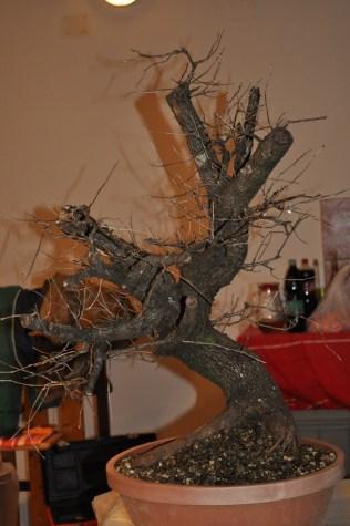 Rešeljika.. Prunus Mahaleb.. Malebbo