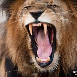 León rugiendo en serengeti N.Pl