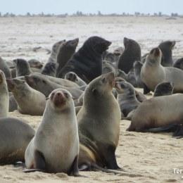 Cape Cross, la colònia de llops marins