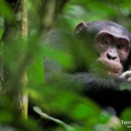 Endinsar-nos en els boscos d'Uganda per veure Ximpanzés