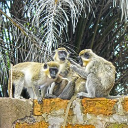 Reserva Forestal de Bijilo o el Parque de los Monos